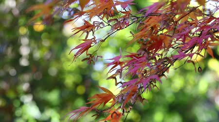 Branch of the japanese maple with red leaves are slightly moving in the breeze. Green background with bokeh. Stok Video