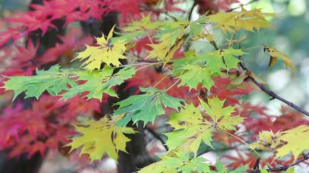 Closeup of japanese maple leaves are slightly moving in the breeze. Green leaves are in the foreground and red leaves are in the background.