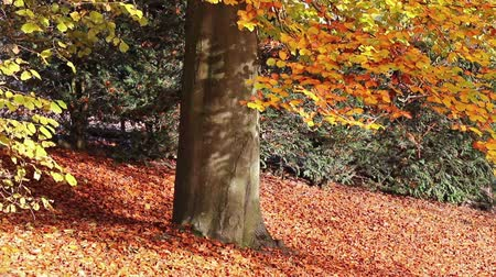 Moving footage from the autumn park showing the grown beech with goldencolor leaves.