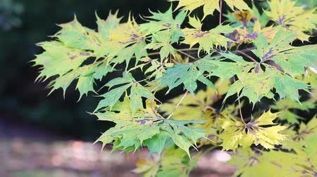 Green and yellow maple leaves moving in the breeze.