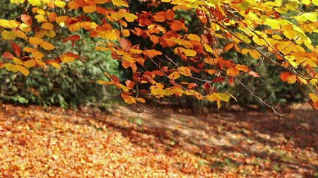 Beech tree branch with golden colored autumn leaves gently moving in the breeze. Stok Video