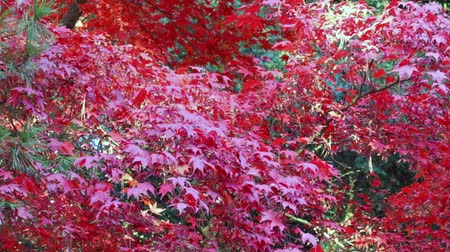 Leaves of red japanese maple are moving in the breeze. Stok Video