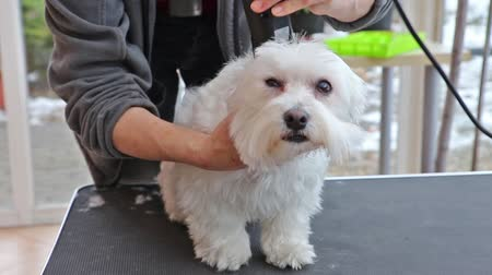 maltština : Gently grooming the back of a white Maltese dog by an electric razor.