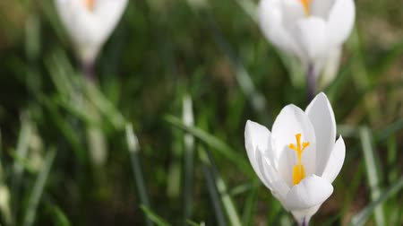 Time lapse footage of the white saffron (Crocus) opening its blossom Stok Video