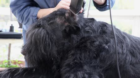 Closeup view of grooming inside the ear of the Giant Black Schnauzer dog by razor.