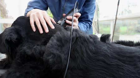 Side view of grooming the Giant Black Schnauzer dog. The dog is lying on the table and the camera is moving along a dog.