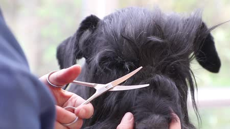 Closeup view of grooming hair around the eyes of the Giant Black Schnauzer dog.