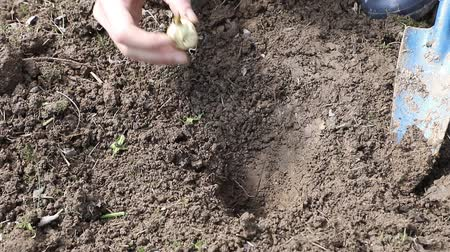 Footage showing woman`s  planting flower bulb in the soil closeup Stok Video