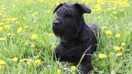 Moving camera footage of the Giant Black Schnauzer Dog lying at the blossoming dandelion meadow Stok Video