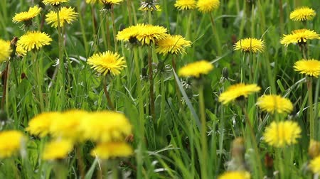 Moving camera footage of dandelion meadow in the sunny day. Stok Video
