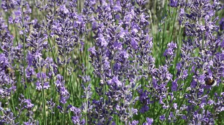 Moving camera footage of lavender flowers in the sunny day. Stok Video