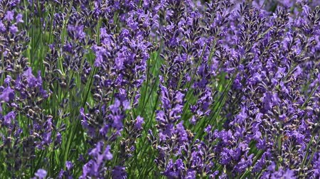 Oblique moving camera footage of lavender flowers in the sunny day.