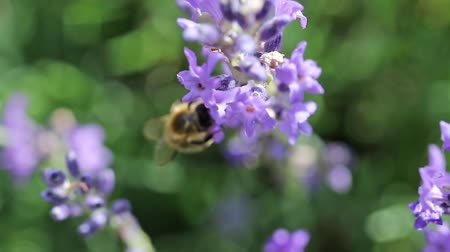 Closeup view of the bee pollinating a lavender flower