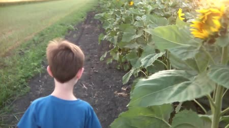 natura : Panning atop a sunflower field at sunset to the edge where a boy walks and then smells yellow flower before camera pans back over scenic field.