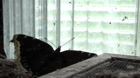 irony : Beautiful black butterfly flutters wings while being trapped against clear glass blocks, and in terrible conditions of abandoned church basement.
