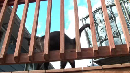 kotki : Siamese cat rubs tail and body up against deck railing, sticks head between posts towards camera, and then resumes. Wideo