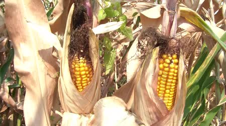 ölen : Two ears of yellow corn in husks slightly moving in sunlight, dry from summer drought. Stok Video