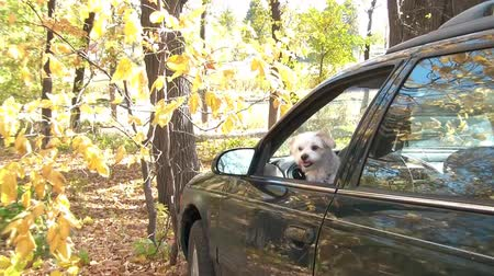 companionship : Small white dog jumps out of car in the autumn season with brilliant yellow fall coloring on forest trees in background.