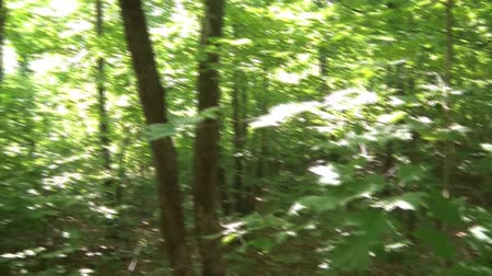 silvicultura : Still clip of beautiful green leaves in Minnesota forest before camera pans upward to sunlight peering through canopy.