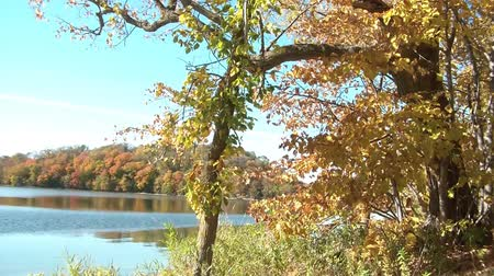 sightly : Leaves drop from tree near beautiful lake in fall with robust colors and calming water in background. Stock Footage