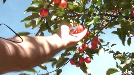 yemek tarifi : Hand picks red apple from tree and brings it back towards camera at end, shot in sunlight with blue sky as background. Stok Video