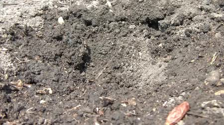 germinated : Fingers plants a seed in black dirt with assistance of hand shovel, and then waters area in sunlight. Stock Footage