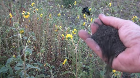 irony : Hand opens, and then slowly releases black dirt in a yellow flower field.