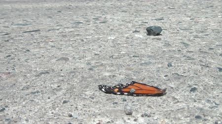 vallási : Abstract clip of monarch butterfly wings weighted down by pebble, moving in wind before blowing away, in sunlight.