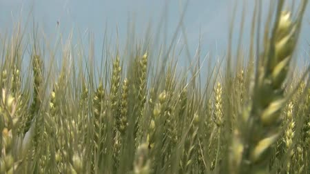 növekvő : Golden wheat gently moves back and forth in close up clip with beautiful blue sky above.