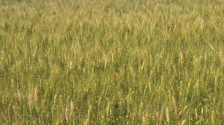 земледелие : Green and gold wheat gendly sway in the breeze while the summer sunlight is brightly illuminating entire field.