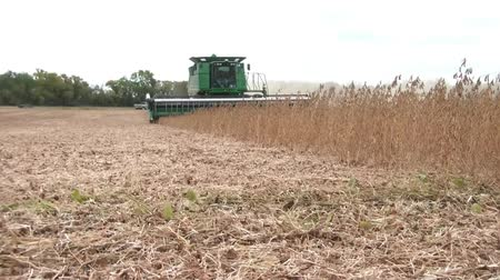 Green tractor harvests crop of beans in Minnesota on windy fall day during afternoon.