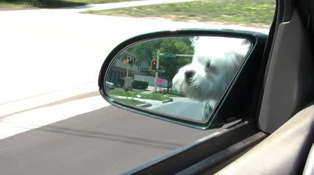 autó : White puppy is reflected in mirror while car drives down the road during sunny afternoon.
