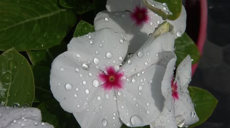 estético : Close up of white periwinkle flower after rain with water beading off in sunlight.  Vídeos