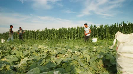 feltörés : time lapse of harvest helper looking for cucumbers at plantation Stock mozgókép
