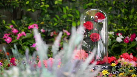lasting : Rose in glass dome stay on the garden