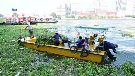 hiacynt : Bangkok, Thailand - December 25, 2018 : Unidentified officer removing water hyacinth in Chao Phraya river Wideo