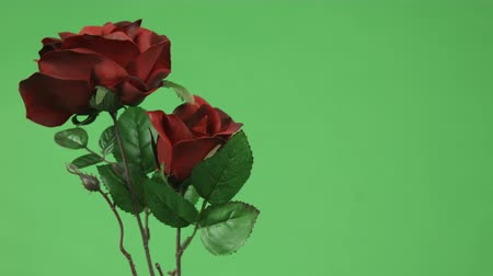 Роуз : red roses isolated on chroma green screen background