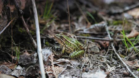 greater : Medium shot of a frog in a forest, Tobermory, Ontario, Canada