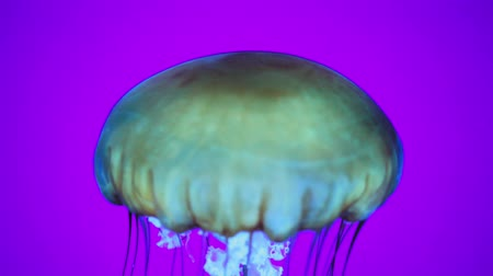 greater : Close-up of a jellyfish in an aquarium Stock Footage