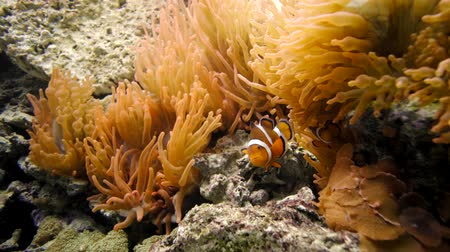 clown fish swimming in aquarium in plant and coral Stok Video