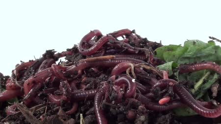 squirm : Ball of redworms (Eisenia fetida) on the compost pile. Visible early developmental stages of worms and woodlice.