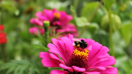 membranous : bumblebee (Bombus) on pink flower in garden, close-up