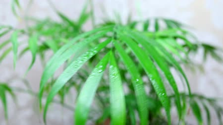 önemseme : green plant are sprayed with help of spray, beautiful water drops closeup