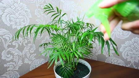 önemseme : plant in white pot are sprayed by female hand with help of green spray closeup Stok Video