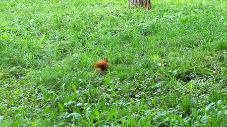 peludo : cute furry squirrel finds nut on grass, takes it in mouth and runs away