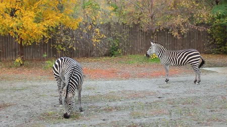 grants : two Grants zebras grazing in autumn Zoo Stock Footage