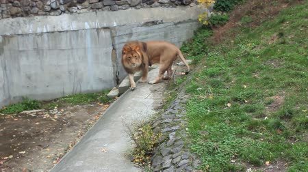 állatkert : African lion walks concreted track back and forth in autumn Zoo Stock mozgókép