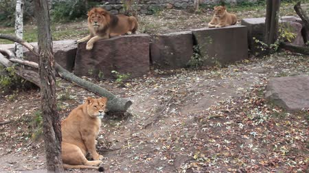 állatkert : African lions family (pregnant female, male and young animal) resting in autumn zoo aviary