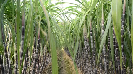 terep : Sugar Cane Plantation