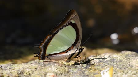 délkelet Ázsia : Butterfly in Thailand and Southeast Asia. Stock mozgókép